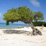 divi divi tree at the end of the beach
