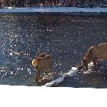 Elk in Yellowstone (photo taken without a zoom lens!)