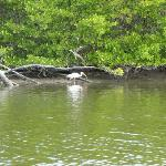 A white ibis, viewed from the kayak.