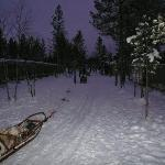 Mushing Huskies