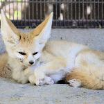 Kit fox on display.