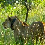 caccia fotografica alla leonessa