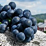 Frontenac grapes on granite and winery in the background