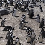 Stony Point Penguin Colony Photo