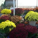 Mums and pumpkins in an outdoor display.