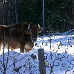 One of the resident oxen