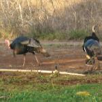 turkeys walking by the lanai