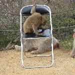 scimmie sulla sedia