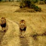 A lion pair of brothers