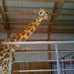 Zach the Giraffe visited Lazy L Safari Park during the 2011 season!
