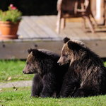 Grizzly bear cubs on the grounds. Photo: Mike Wigle