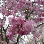 紅枝垂れ桜のシャワーです。