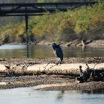 Heron on a log on the Pitt River