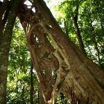 The famous hiden strangler fig
