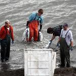 Fresh Alaska sockeye salmon headed for market.