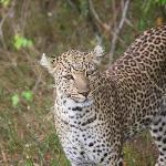 Five minutes into the Mara, and we met Mr.Leopardy