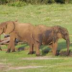 Ellies playing in the mud