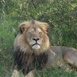 Lion we tracked