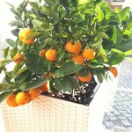 pimenta laranja