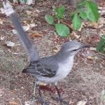 Friendly Mockingbird at Fort Hamilton