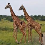a couple of giraffes on the way to market