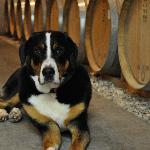 Our resident pooch, Fíon, keeps the wine safe for your enjoyment.  Barrel Room tastings are avai