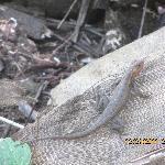 Sceloperus Lizard