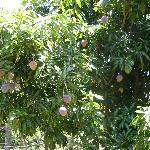Ripe mangoes at Peter's ranch, Lipa-í (January is mango season!)