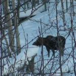 Moose across the lake, taken from hotel window.