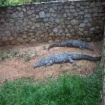 Crocs in their enclosure
