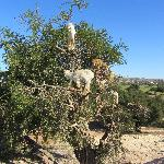 Goats on Argan tree, Essaouira