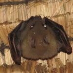 А это та самая летучая мышь, которая жила у нас под крышей