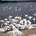 Abbotsbury Swannery is only a walk away