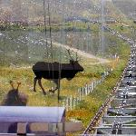 Going up the Cairngorm Funicular Railway - but is that a reindeer?
