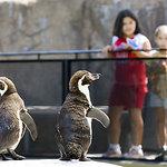 Humboldt Penguins at the Beautiful Santa Barbara Zoo
