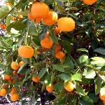 Orangenbaum | orange tree