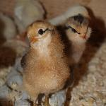 Curious baby chicks