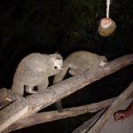 Bush babies come every evening to be fed