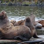 Kodiak Sea Lions