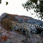 This big male leopard was recently seen on a game drive of the Big Cave property