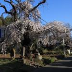 渋沢の枝垂れ桜