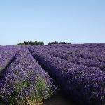 the fields in flower