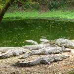 Crocodile Centre St Lucia