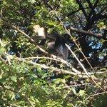 Mono cariblanco en la zona de camping cercar de La Casona.