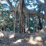 gigantischer ` Ficus macrophyla `