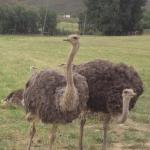 This farm has ostriches