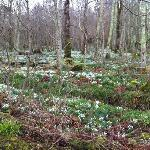 Snowdrops in nearby woods