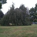 Long standing Weeping Willow