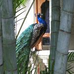 A Palace Peacock