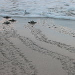 Baby Turtles heading to the Ocean